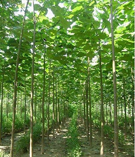 New Paulownia elongata Samen New Waldbaumsamen, 200seeds / pack schnell wachsenden Baum im Freien Anlage für Hausgarten