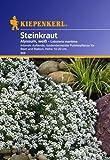 Kiepenkerl Steinkraut Alyssum, weiß