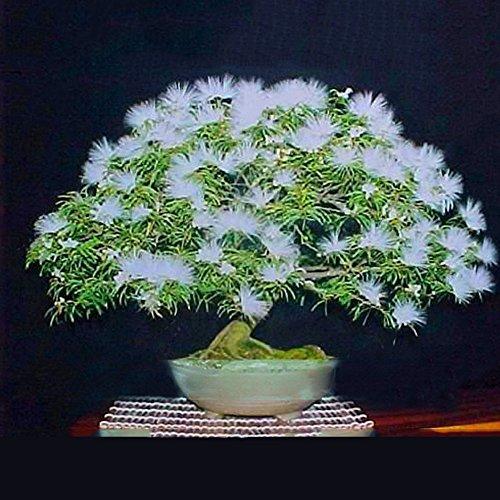 TOPmountain Schöne Akazienbaum-Samen 20 Stück Pflanzenblumensamen Bonsai Blumensamen für Hausgarten