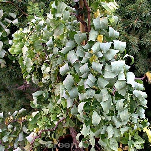 Zwerg Korkenzieher Robinie Twisty Baby 60-80cm - Robinia pseudoacacia