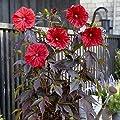 lichtnelke - Riesen-Hibiskus (Hibiscus moscheutos) Carousel® Red Wine von Lichtnelke Pflanzenversand - Du und dein Garten