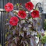 lichtnelke - Riesen-Hibiskus (Hibiscus moscheutos) Carousel® Red Wine