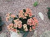 Kalanchoe a tropical succulent plant