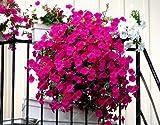 100pcs Petunie Samen hängen Melisse ursprünglichen Blumensamen mehrjährigen Blumen für Hausgarten Bonsai Topf pflanzen Petunie 15