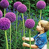 Beautytalk-Garten 10 Pcs Blumenzwiebeln Allium Giganteum Allium Ambassador Allium-organische Blumensamen Saatgut winterhart mehrjährig Blumen für Hof, Garten