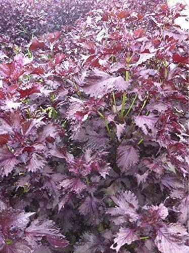 Seekay Périlla Rouge - Shiso - Japonais Basilic - Environ 100 Graines
