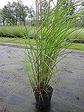 Miscanthus sinensis Graziella - Feinhalm-Chinaschilf Graziella