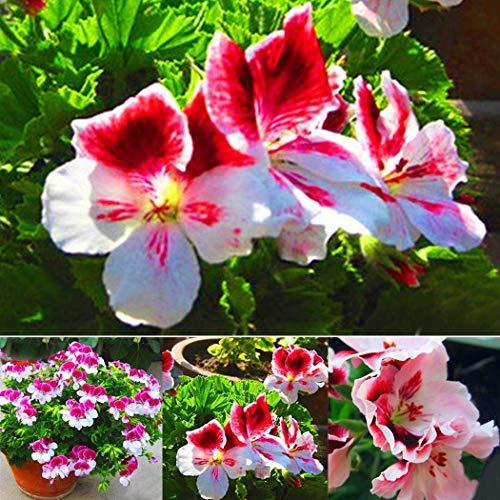 MEIGUISHA Gartensamen-50 pcs Duft-Geranie Moskito-Schocker Balkonpflanzen winterhart mehrjährig Pflanzen Geranien Pelargonium Blumensamen