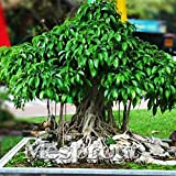 Portal Cool Semillas 5Pcs ornamental planta sagrada Fig árbol de familia Moraceae Semi-Evergreen