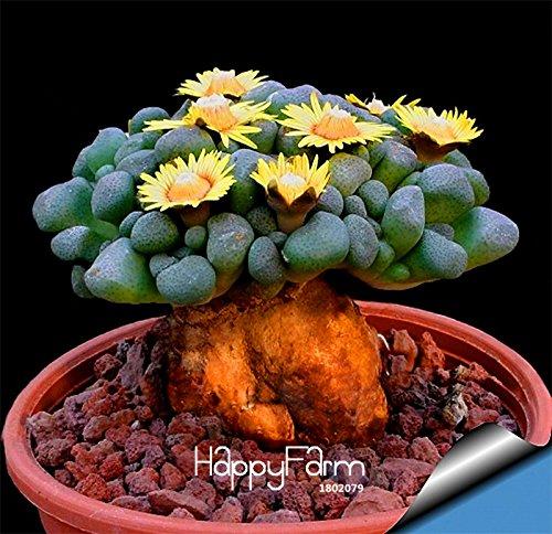 100 Banana graines Fruit de la Passion Seeds -Passiflora mollisima ~ Seed spéciale Bonsai