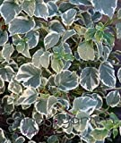 Kletterhortensie `Silver Linings´ ® Größe 6-L-Topf, 60-80 cm Pflanzenhöhe