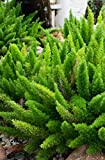 Asparagus meyeri - Fuchsschwanz Farn - Gesamthöhe 40-50cm - Topf Ø 18cm