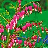 Tränendes Herz Rosa - Dicentra Spectabilis - Pflanze winterhart mit herzförmiger Blüte -Herzblume im Topf von Garten Schlüter