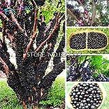 100 piezas comestibles del Buen Gusto Jabuticaba Semillas Semillas de fruta sana interior y exterior Bonsai árbol Novel