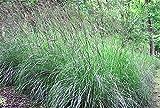 500 + vetiver semi nativi americani Prairie erba secca ornamentale Clumping