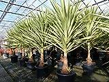 XXL Yucca Hochstamm Palme 160-180 cm Elephantipes Jewel pflegeleichte Zimmerpflanze