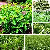 30pcs / lot Stevia Rebaudiana sweetleaf Semillas diabética natural de azúcar Semillas Sustituto de la hierba Bonsai de plantas del jardín de DIY