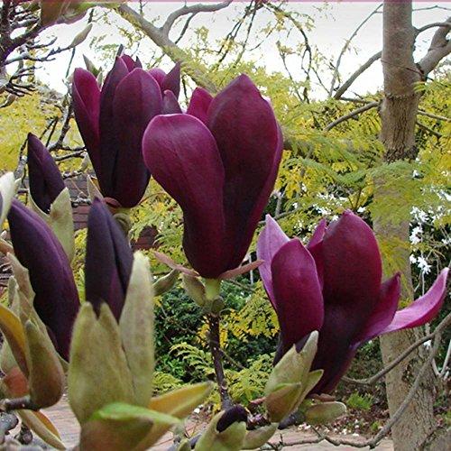 magnolia-liliflora-nigra-1-shrub