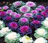 Pinkdose® Pinkdose Blumensamen: Zierkohl-Runde Blätter Pflanzensamen Blumensamen Winter Küche Garten Hybrid Samen (4 Pakete) Garten Pflanzensamen Von