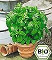 """BALDUR-Garten BIO-Basilikum """"Genoveser"""",1 Pflanze Ocimum basilicum Basilikumpflanze von Baldur-Garten - Du und dein Garten"""