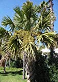 TROPICA - Blaue Hesperidenpalme (Brahea armata) - 8 Samen