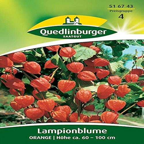 Lampionblumen Orange | Höhe ca. 60 - 100 cm (Physalis alkekengi) August - September-