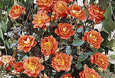 Kletterrose 'Warm Welcome' (R) im 4 L Container von Rosen-Union auf Du und dein Garten