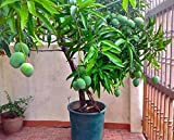 M-Tech Gardens Rare Exotic Tropical Dwarf Mango Fruit Healthy Live Plant