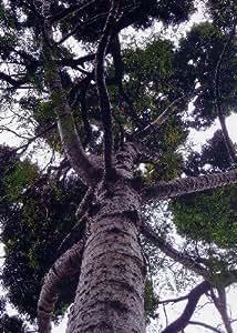 TROPICA - Kauri Neozelandese - Abete rosso (Agathis australis) - 10 Semi