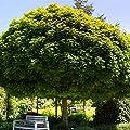 Amazon.de Pflanzenservice Hausbaum Kugel-Ahorn, Acer platanoides Globosum HA 120/130, 7,5 L Container, grün von Amazon.de Pflanzenservice bei Du und dein Garten