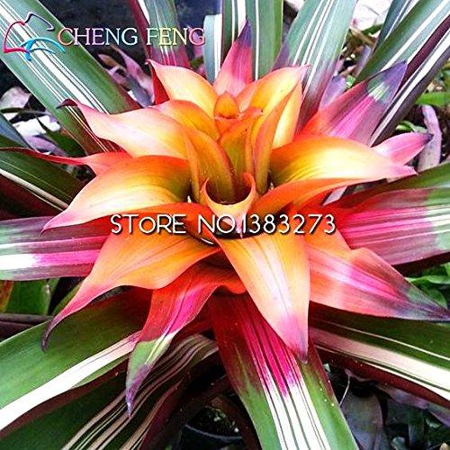 20pcs meilleures ventes / lot Cactus broméliacées Seeds Rare Fruit Graine SeedsAndPlants Plant Mini Succulent Bonsai Diy usine jardin navire gratuit