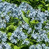 Blausternbusch ( Amsonia tabernaemontana )