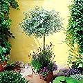 Hochstämmiger Eukalyptus - 1 baum von Meingartenshop - Du und dein Garten