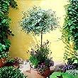 Standard Eucalyptus Gunnii Tree - 1 tree