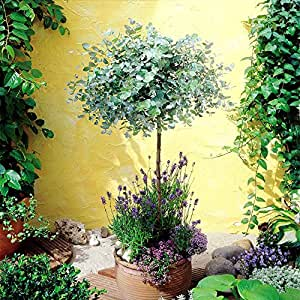 Eucalyptus Standard Anti Moustique - 1 arbre