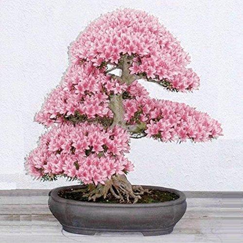 Keptei Samenhaus- 10PCS Japanische Sakura Samen Kirschblüte Topfpflanzen Bonsai Saatgut duftend mehrjährig fuer Ihr liebe Haus und Garten (Rosa)