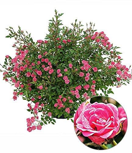 "Lilly Rose""Wonder5"",1 Pflanze"