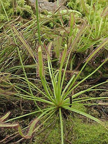 Fleischfressende Pflanze - Drosera capensis - der rote Kap Sonnentau mind. 25 frische Samen