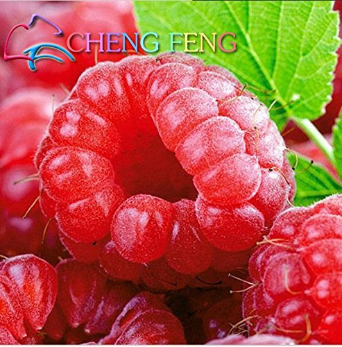 Légumes et fruits Graines 100 Graines Rouge Framboise Graines Bonsai plants de fraises sauvages pour Maison & Jardin semences forestières bateau libre