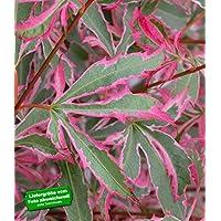 BALDUR-Garten Japanischer Zwerg- Ahorn 'Marlo', 1 Pflanze Acer palmatum