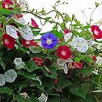 funie 50Pcs/Bag Super Big Morning Glory Seeds Garden Bonsai Climbing Plants Pot Flower