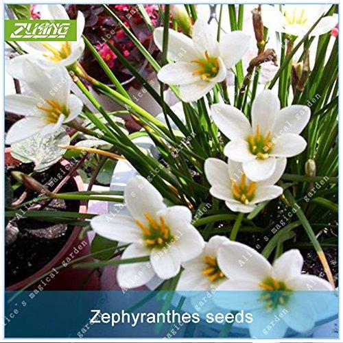 Galleria fotografica ZLKING 100 Pz bianco cinese Zephyranthes Giglio Fiori Bonsai semi freschi Bella esotici e naturali della pianta del fiore decorato da giardino