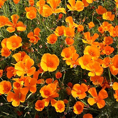 AIMADO Samen-100 Pcs Kalifornischer Mohn Saatgut,orange Bio-Samen bienenfreundlich Blumensamen delikate Pflanze ideal für Topf Bonsai Garten (Mohn Pflanzen)