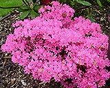 9cm Pot Azalea Diamant Pink Diamond Garden Shrub Plant