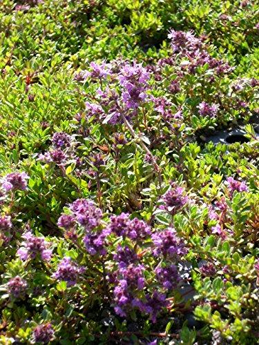 Thymus serpyllum Magic Carpet - Garten-Thymian, 50 Pflanzen im 5/6 cm Topf