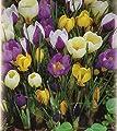 Blumenhandel Ullrich Botanische gemischte Krokusse 100 Blumenzwiebeln Crocus von Blumenhandel Ullrich bei Du und dein Garten