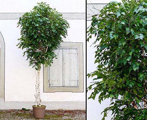 Maxi Kunstbaum Birke 300cm mit Naturstämmen und 4284 Textilfaser Blätter – Kunstpflanze Kunstbaum künstliche Bäume Kunstbäume Gummibaum Kunstoffpflanzen Dekopflanzen