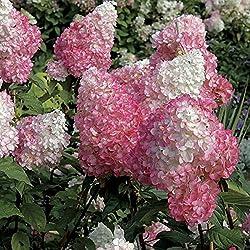 100 Stück Hibiskussamen Riesen Hibiscus Blumensamen für Garten & Heimstaudentopfpflanzen Bonsai Grassamen
