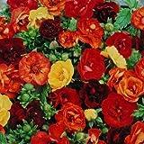 Portal Cool 40+ Potentilla Astrosemguinea Cinquefoil Mix/Hardy Perennial
