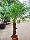 Palmenmann Dattelpalme (Zwergdattelpalme) 30-40 Stamm - Phoenix roebelenii